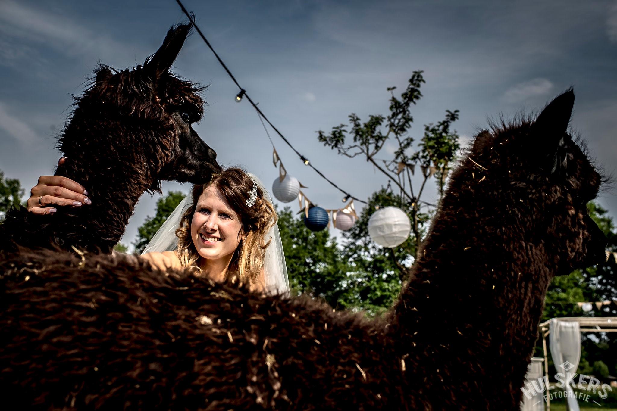 Alpacas-tijdens-een-bruiloft-2