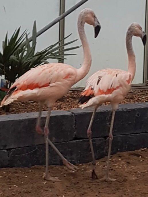 Flamingos-