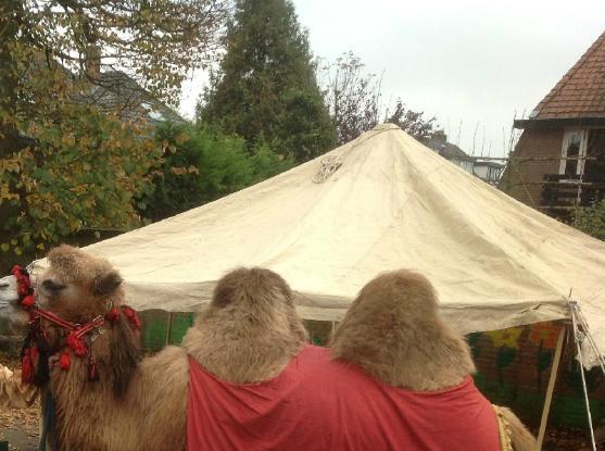 kameel-met-saharatent