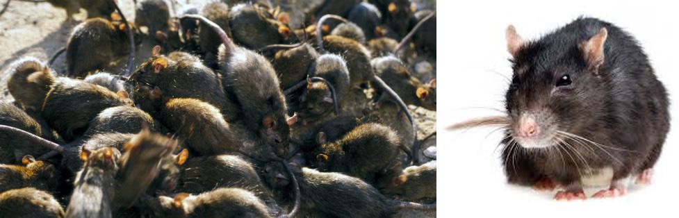 Ratten Halloween