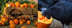 Zwarte kippen halloween